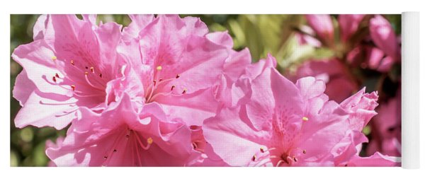 Pink Azalea Bush Blooming In North Georgia 048a Yoga Mat