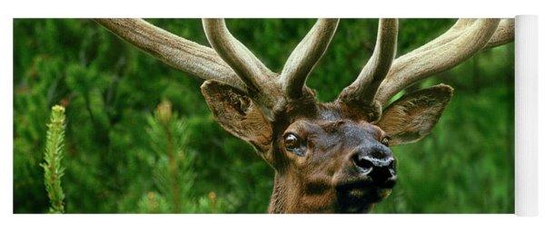 Portrait Of A Bull Elk Cervus Elaphus Wild Wyoming Yoga Mat