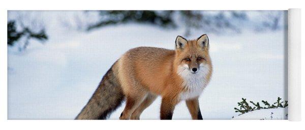 Red Fox Vulpes Vulpes Portrait Yoga Mat