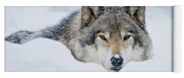 Timber Wolf Picture - Tw281 Yoga Mat