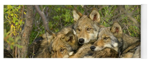 Timber Wolf Trio In Denali Yoga Mat