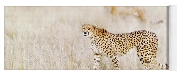 A Pair Of Cheetahs Move Steathily Through The Long Grass Of The  Yoga Mat