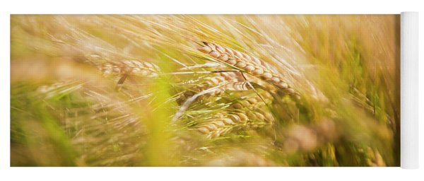 Background Of Ears Of Wheat In A Sunny Field. Yoga Mat