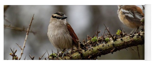 Black-crowned Tchagra And White-browed Scrub-robin Yoga Mat
