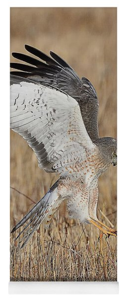Northern Harrier Attacks Yoga Mat