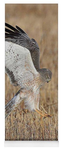 Northern Harrier Attacks Yoga Mat