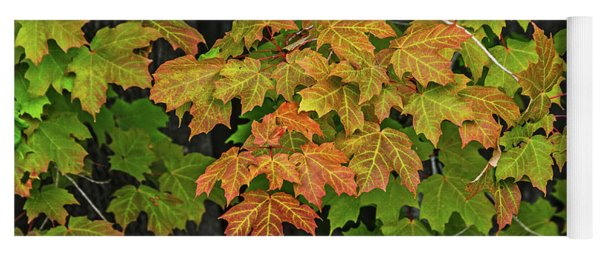 Various Stages Of Fall Color On Maple Leaves Yoga Mat
