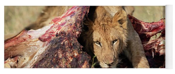 Young Lion On Cape Buffalo Kill Yoga Mat