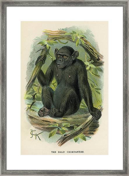 A Bald Chimpanzee Framed Print