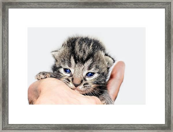 Kitten In A Hand Framed Print