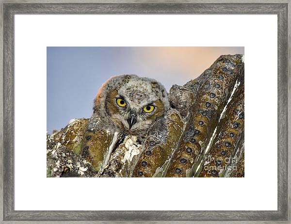 Little Great Horned Owl Framed Print
