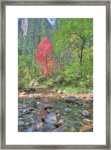 Lone Maple Fall Creek Framed Print