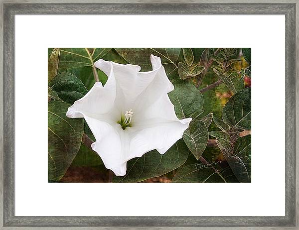 Moonflower Framed Print