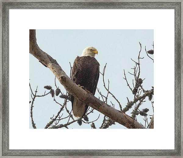 Resting Bald Eagle Framed Print