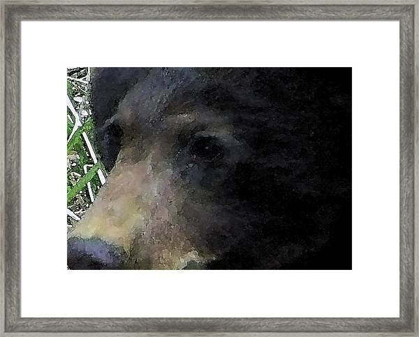 01042014 Black Bear Alaska Framed Print