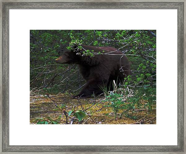 03162015 Black Bear Alaska Framed Print