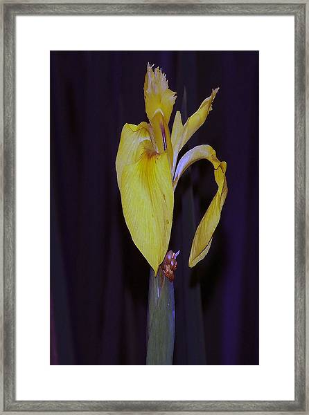 091514 Digital Dry Brush Swamp Lily Framed Print