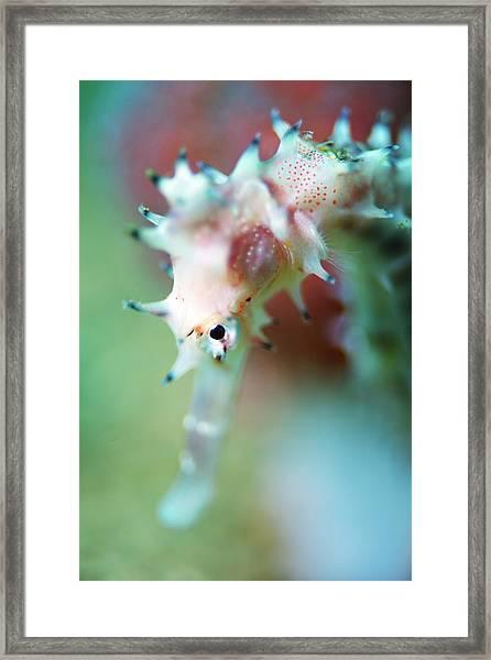 A Thorny Seahorse Framed Print