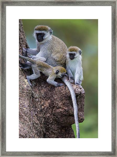 Africa Tanzania Vervet Monkey Female Framed Print