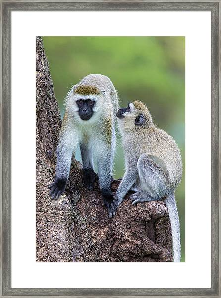 Africa Tanzania Vervet Monkey Framed Print