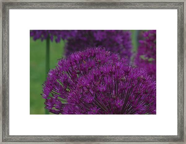 Allium 2 Framed Print