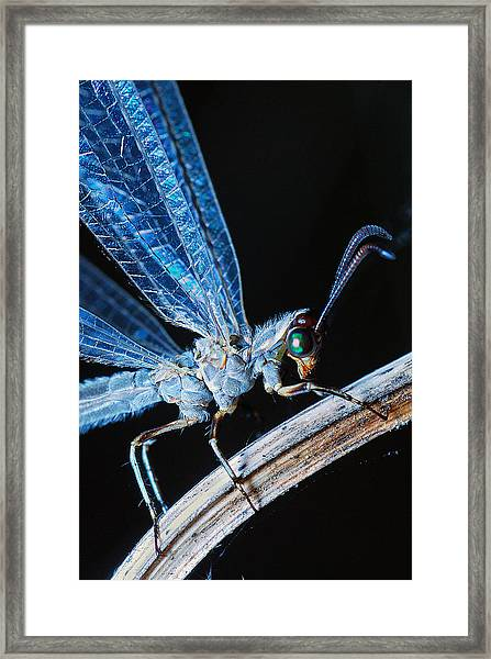 Antlion Framed Print
