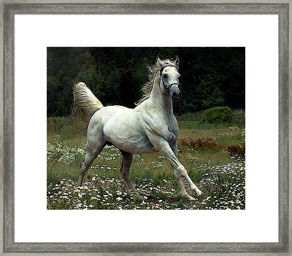 Arabian Horse Watercolor Portrait Framed Print by Olde Time  Mercantile