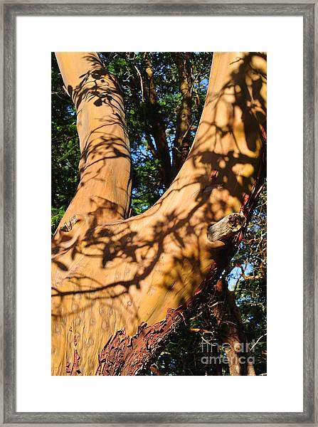 Arbutus Tree Framed Print