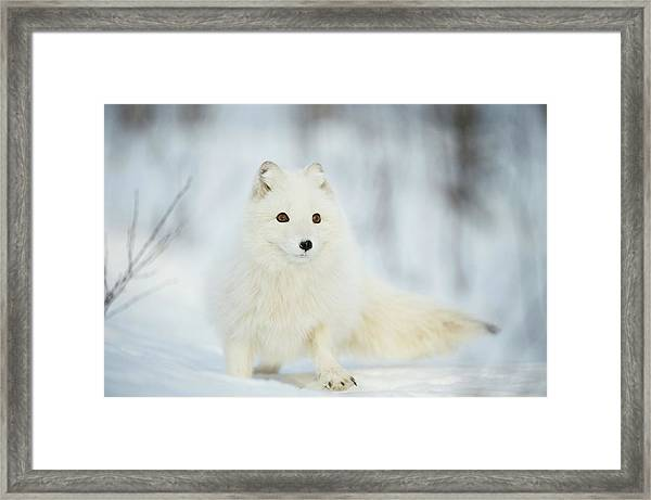 Arctic Fox In The Snow Framed Print by Dr P. Marazzi/science Photo Library