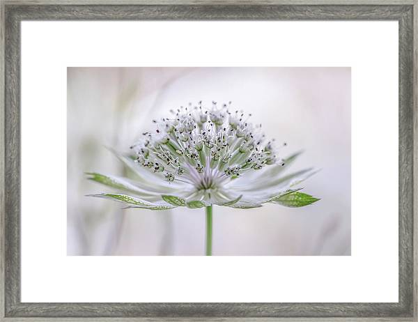 Astrantia Framed Print by Mandy Disher