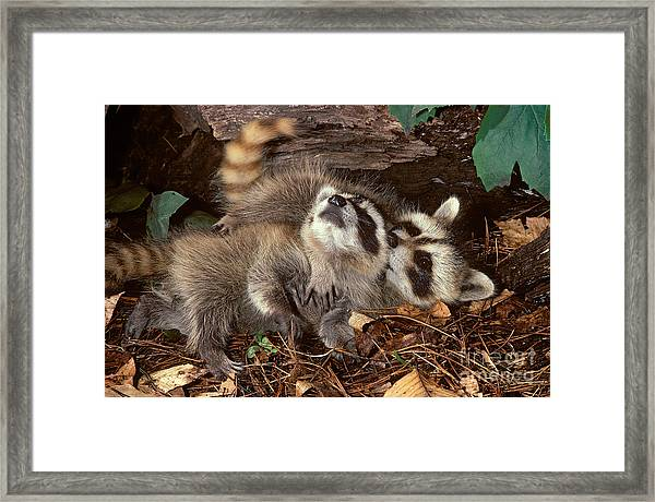 Baby Raccoons Playing Framed Print