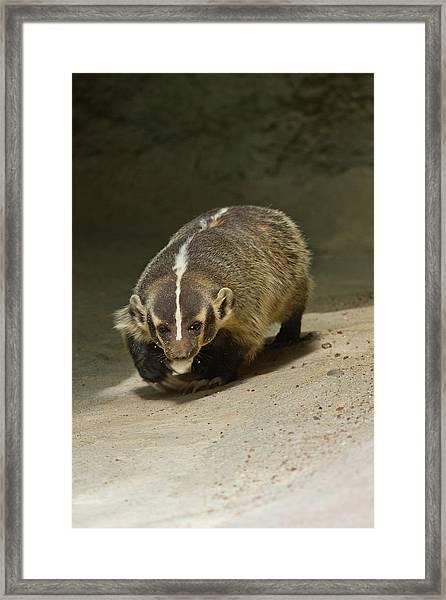 Badger (taxidea Taxus Framed Print