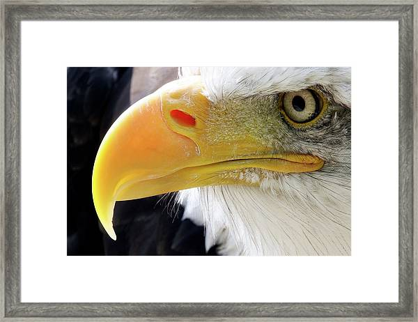 Bald Eagle Framed Print by John Devries/science Photo Library