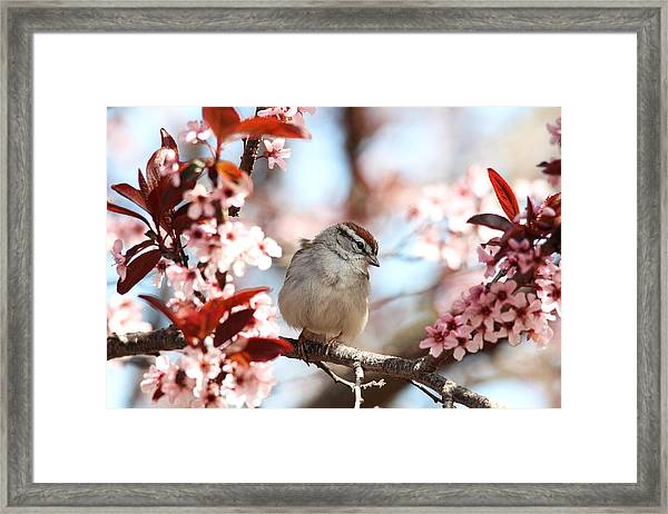 Beautiful Sparrow Framed Print