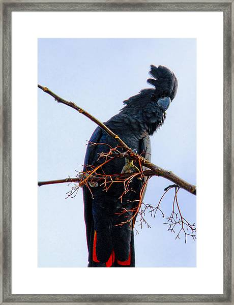 Framed Print featuring the photograph Black Cockatoo by Debbie Cundy