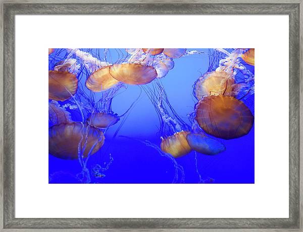 Black Sea Nettle Jellyfish At Monterey Framed Print by Sabrina Dalbesio