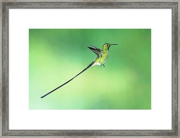 Black-tailed Trainbearer Hummingbird Framed Print by Tony Camacho/science Photo Library