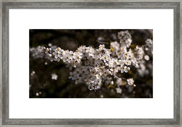 Blackthorn Blossom Framed Print