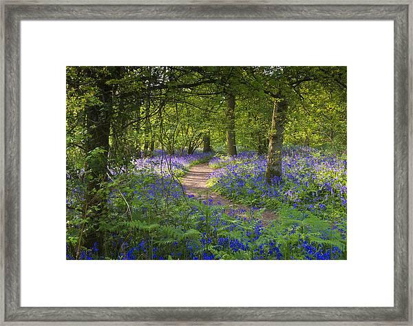 Bluebell Woods Walk Framed Print