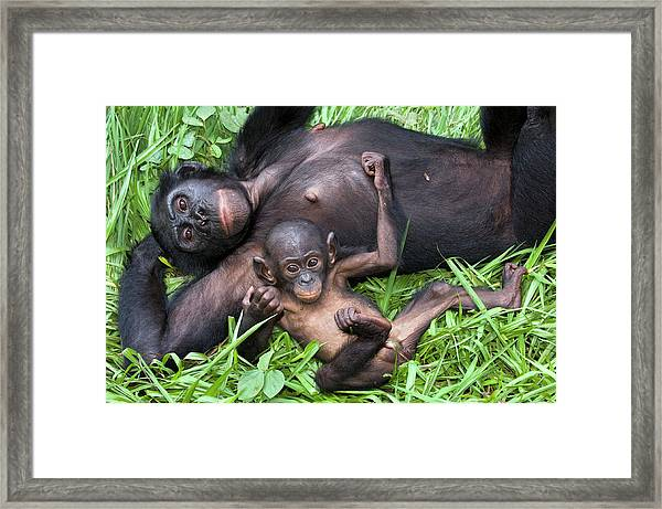 Bonobo Ape Mother And Young Framed Print