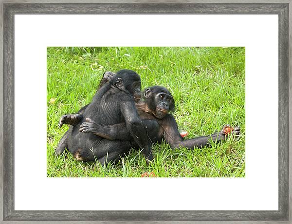 Bonobo Apes Mating Framed Print