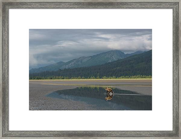Brown Bear, Ursus Arctos, At Silver Framed Print