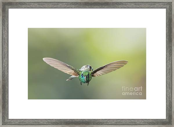 Brown Violet-ear Hummingbird Framed Print