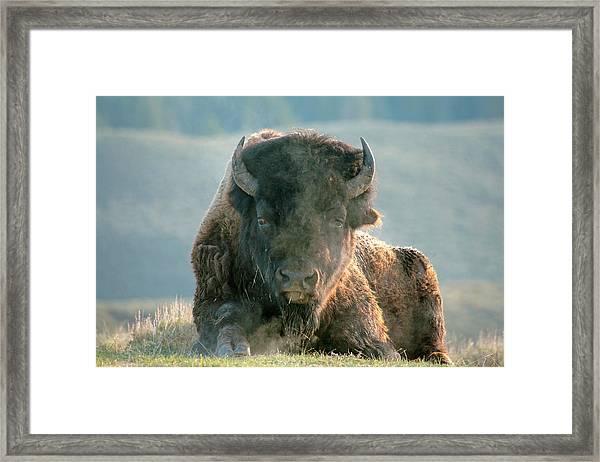 Bull Bison Framed Print