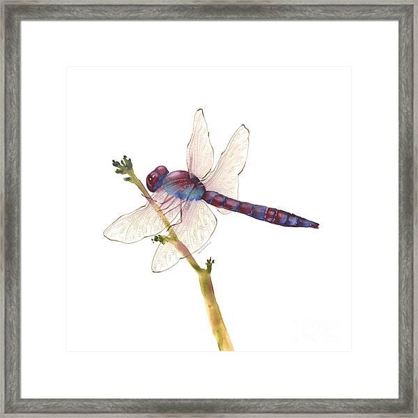 Burgundy Dragonfly  Framed Print