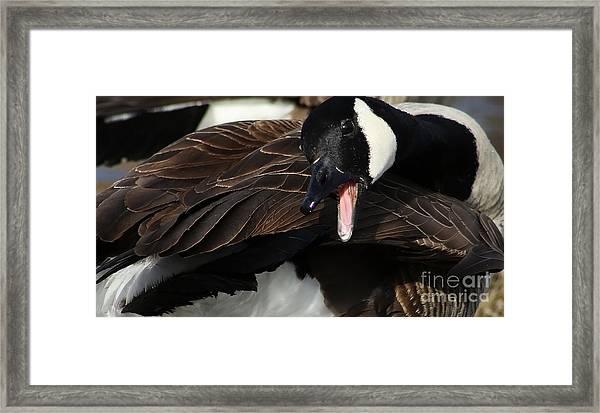 Canada Goose Closeup Framed Print