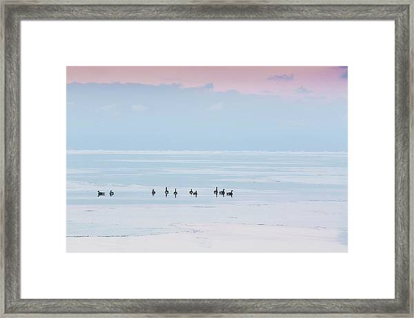 Canadian Geese Sit On Lake Ontario Framed Print by Ed Norton