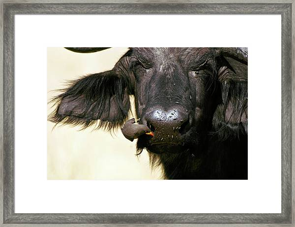Cape Buffalo And Yellow-billed Oxpecker Framed Print by Dr P. Marazzi/science Photo Library