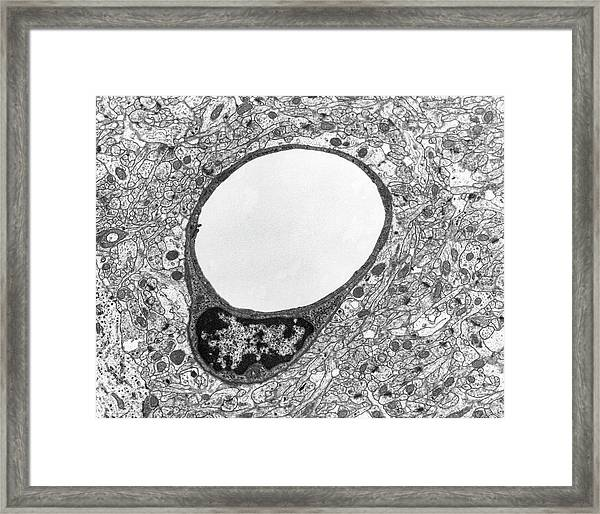 Capillary And Endothelial Cell Framed Print