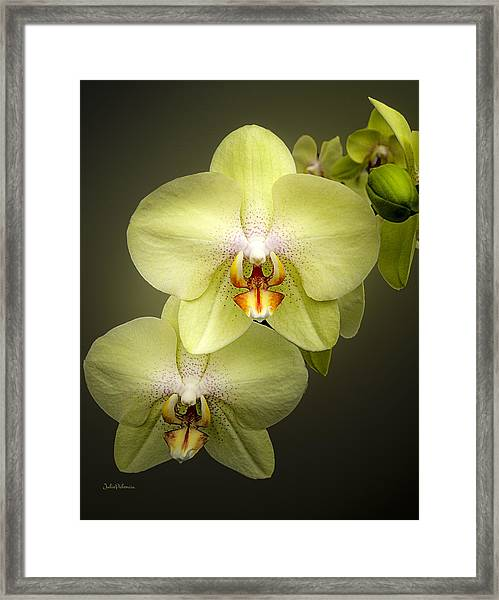 Cascade Of Yellow Orchids Framed Print